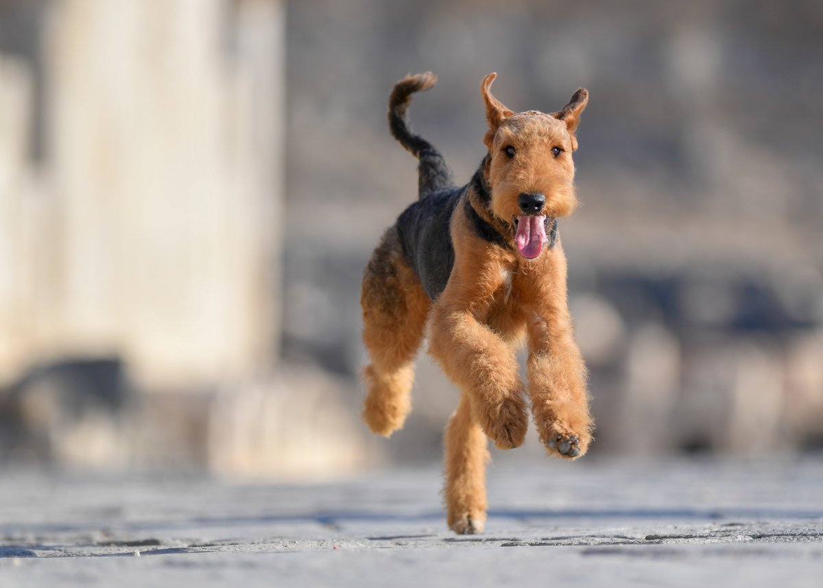 airedale-terrier-dog-breed-exercise
