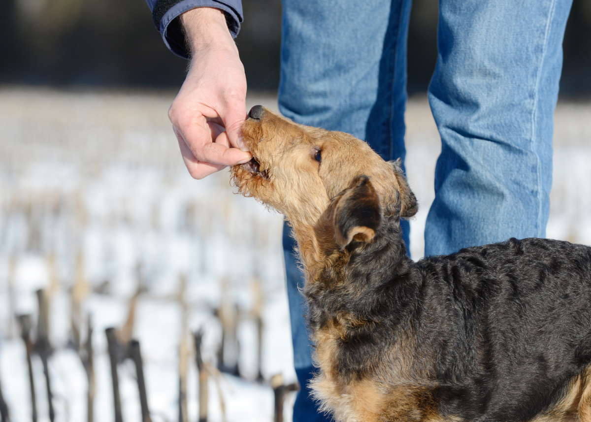 airedale-terrier-dog-breed-feeding