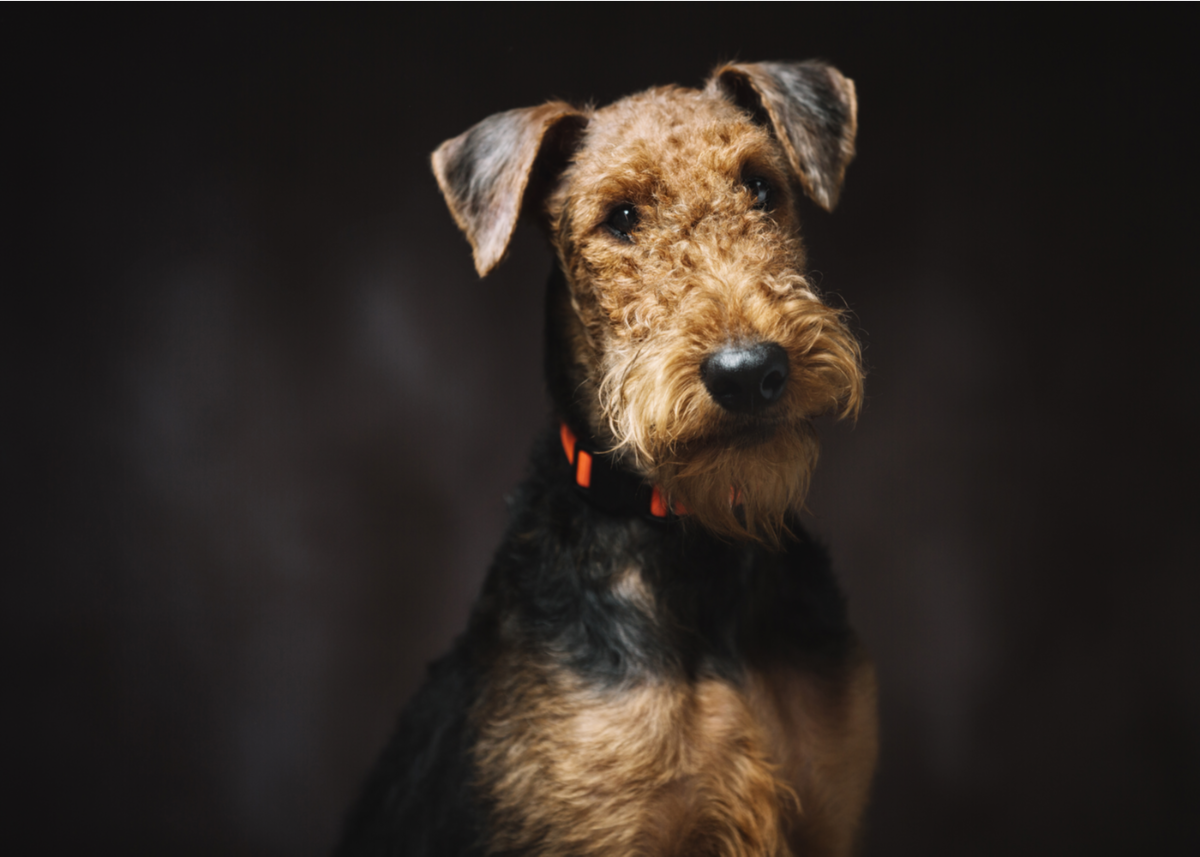 airedale-terrier-dog-breed-history
