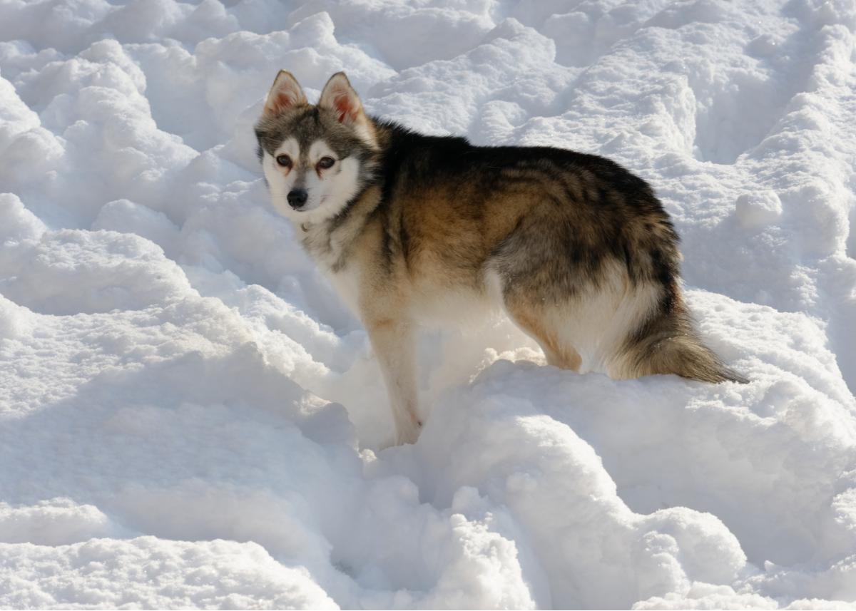 alaskan-klee-kai-dog-breed-guide-exercise