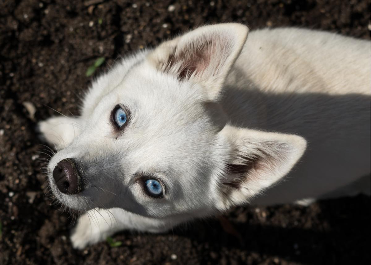 alaskan-klee-kai-dog-breed-guide-health