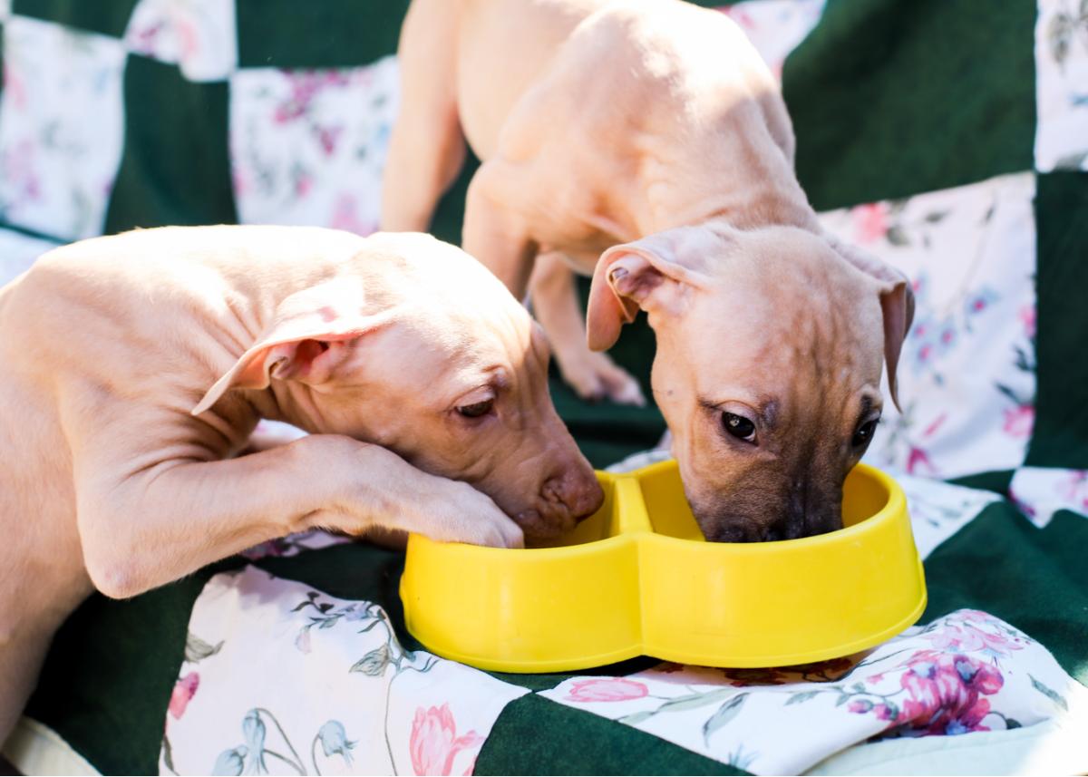american-pit-bull-terrier-dog-breed-feeding