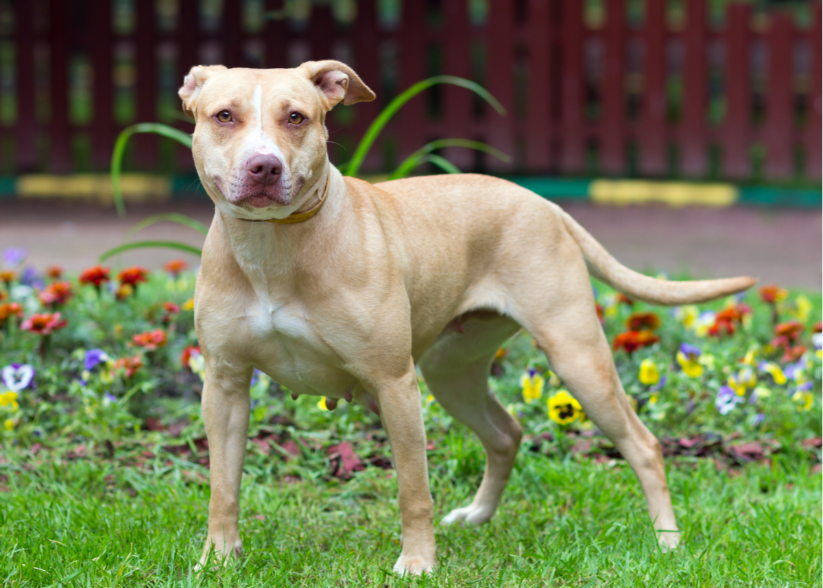 american-pit-bull-terrier-dog-breed-size