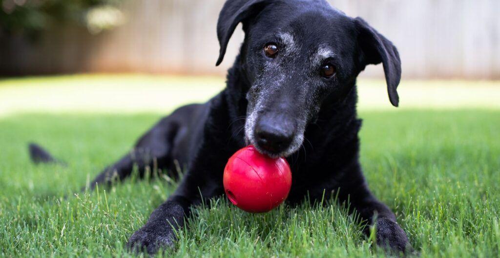 best-dog-toy-for-senior-dog