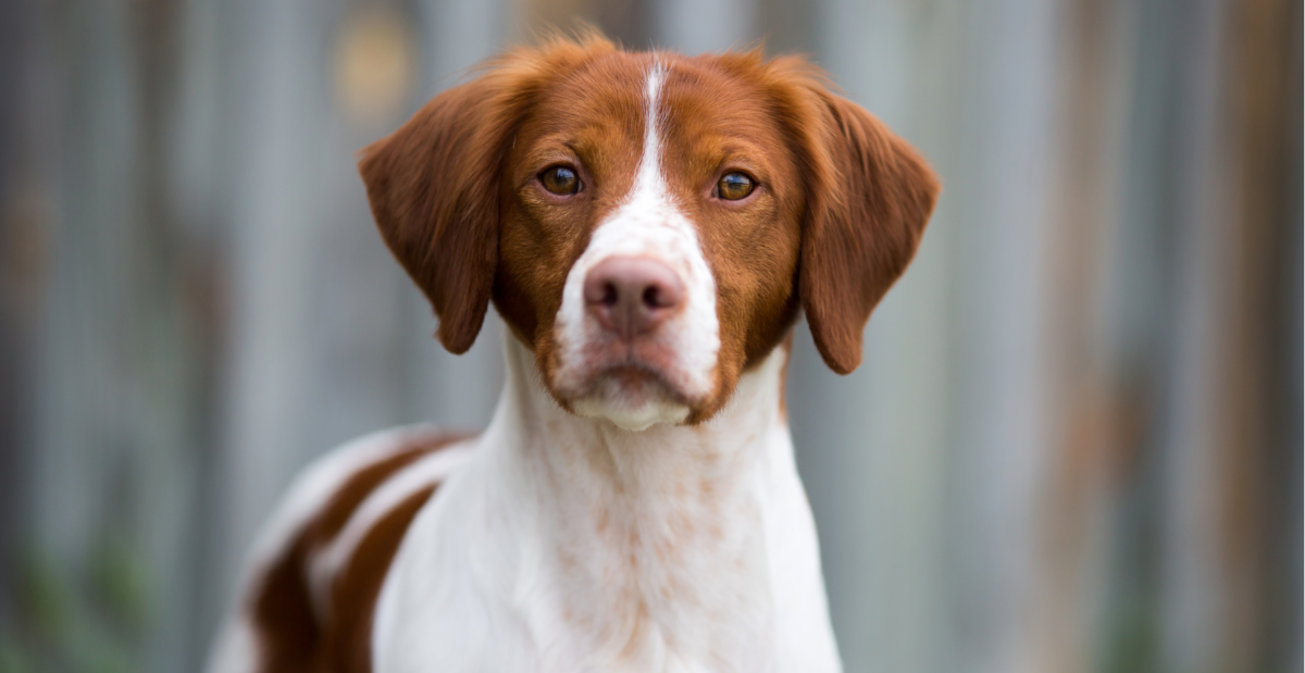 brittany-dog-breed-guide-header