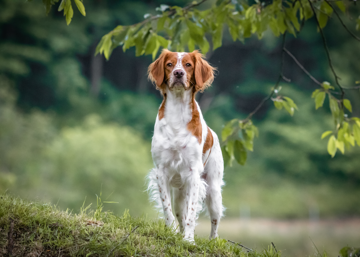 brittany-dog-breed-guide-history