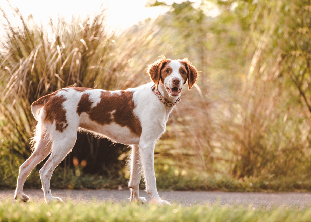 brittany-dog-breed-guide-size
