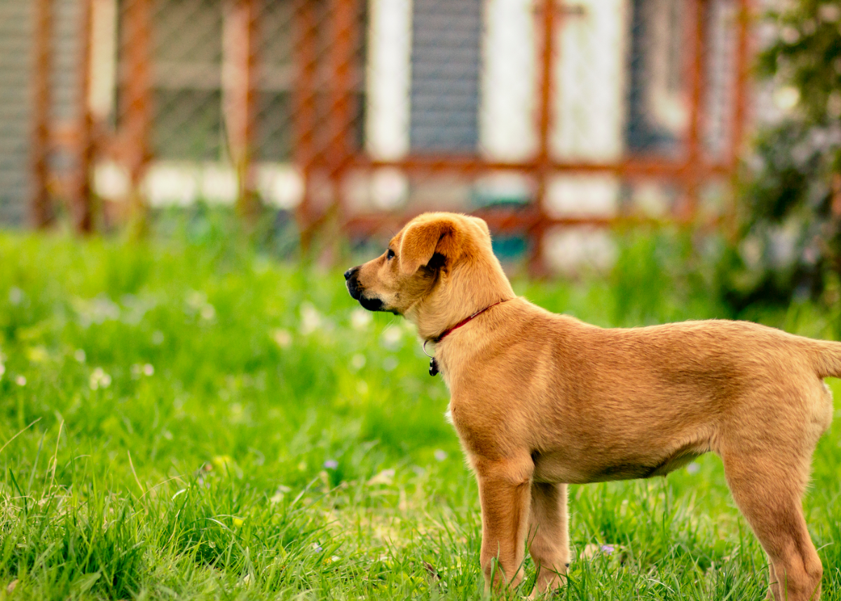 chinook-dog-breed-guide-size