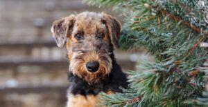 airedale-terrier-dog-breed-header