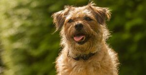 border-terrier-dog-breed-guide