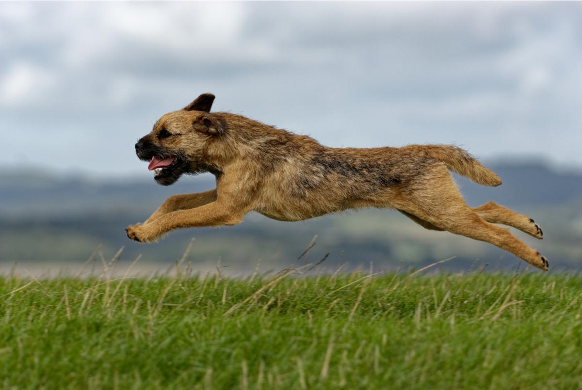 border-terrier-dog-breed-guide-exercise