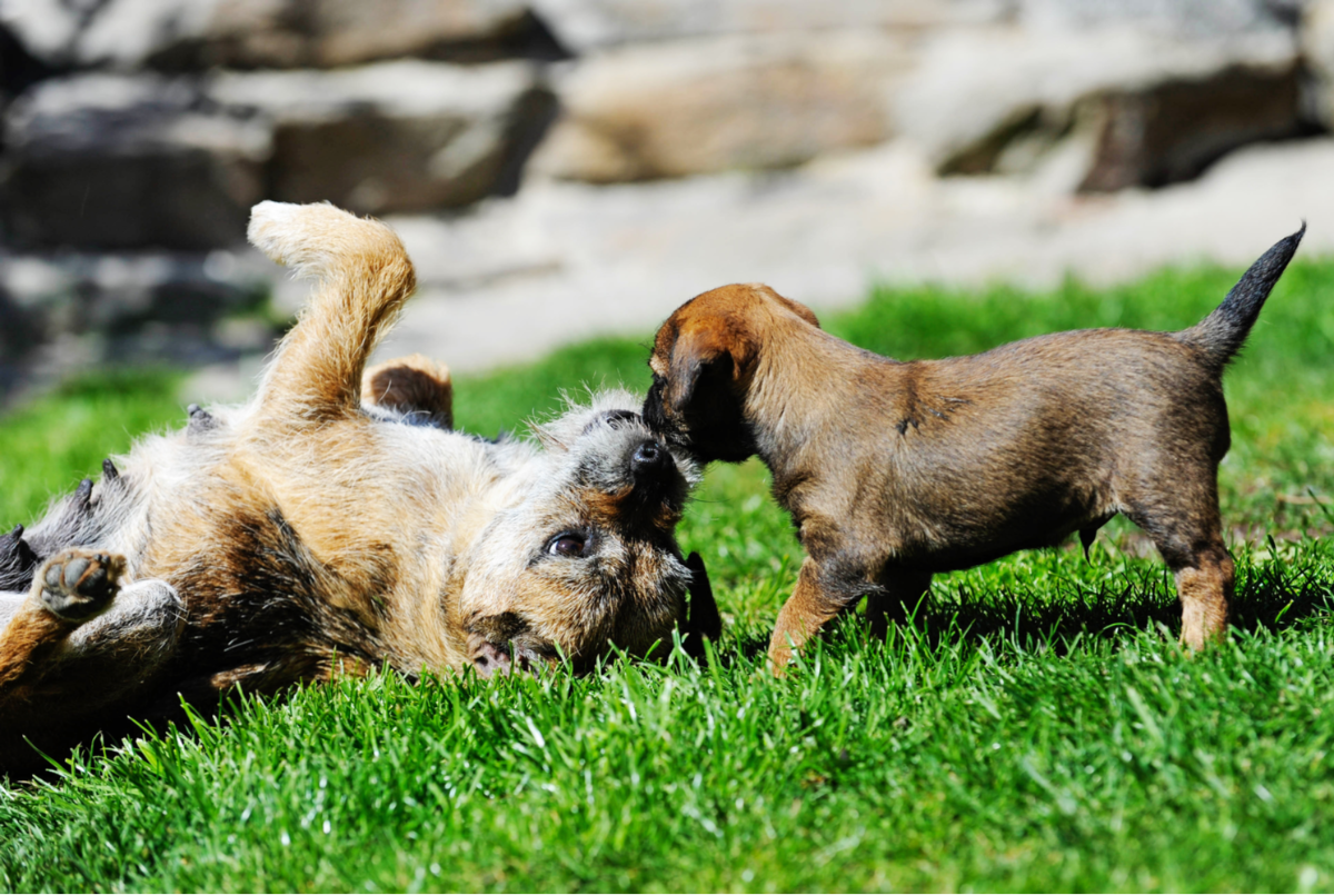 border-terrier-dog-breed-guide-personality