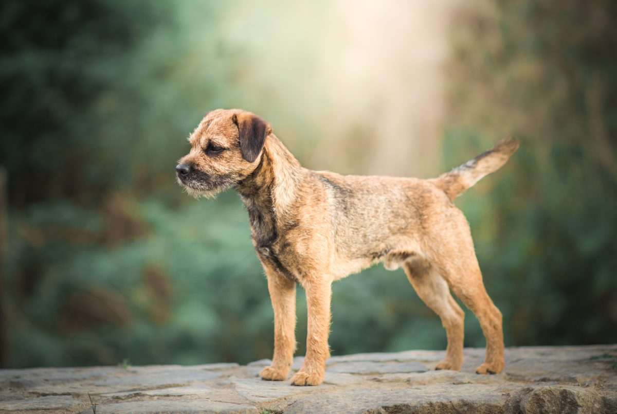 border-terrier-dog-breed-guide-size