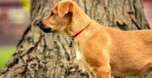 chinook-dog-breed-guide-header