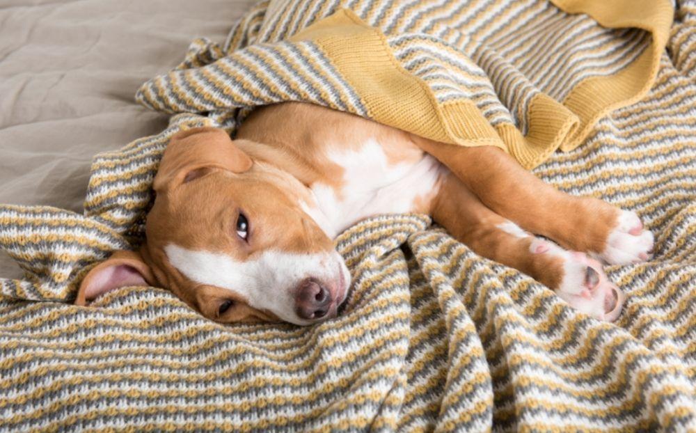 dog-upset-stomach