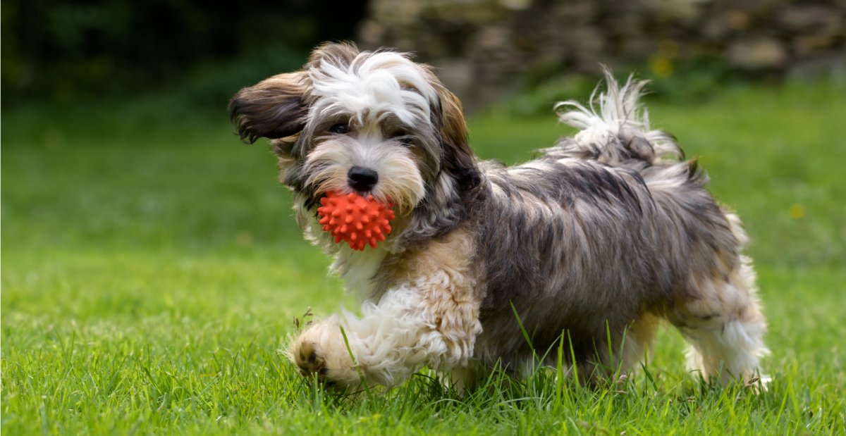 havanese-dog-breed-guide-exercise