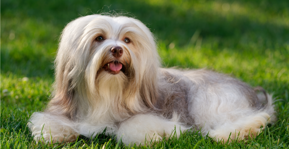 havanese-dog-breed-guide-history