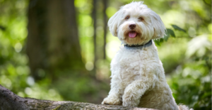 havanese-dog-breed-guide-size