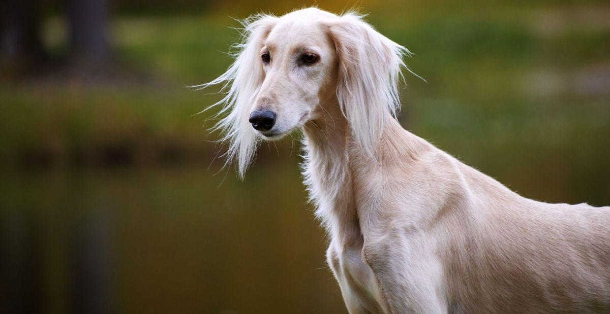 saluki-dog-breed-header