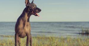 xoloitzcuintli-dog-breed-header