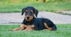 airedale-terrier-puppy