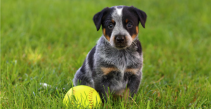 australian-cattle-dog-puppy