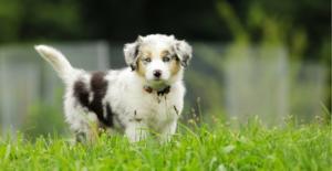 australian-shepherd-puppy