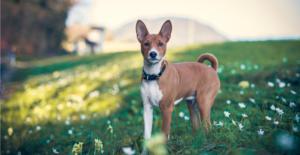 basenji-puppy