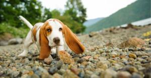 basset-hound-puppy