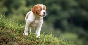 brittany-puppy