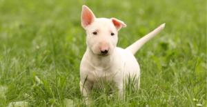 bull-terrier-puppy