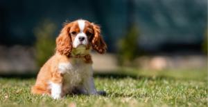 cavalier-king-charles-spaniel-puppy