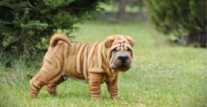 chinese-shar-pei-puppy