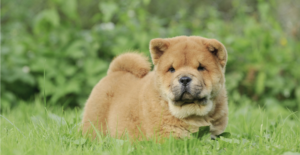 chow-chow-puppy