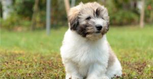 coton-de-tulear-puppy