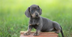 dachshund-puppy