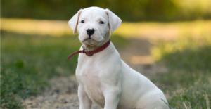 dogo-argentino-puppy