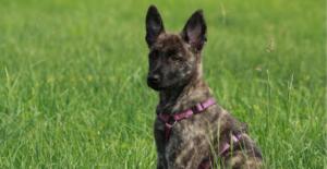 dutch-shepherd-puppy