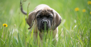 english-mastiff-puppy