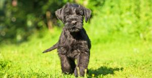 giant-schnauzer-puppy