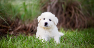 great-pyrenees-puppy