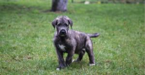 irish-wolfhound-puppy