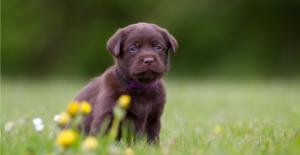 labrador-retriever-puppy