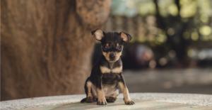 miniature-pinscher-puppy