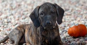 plott-hound-puppy