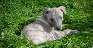 whippet-puppy