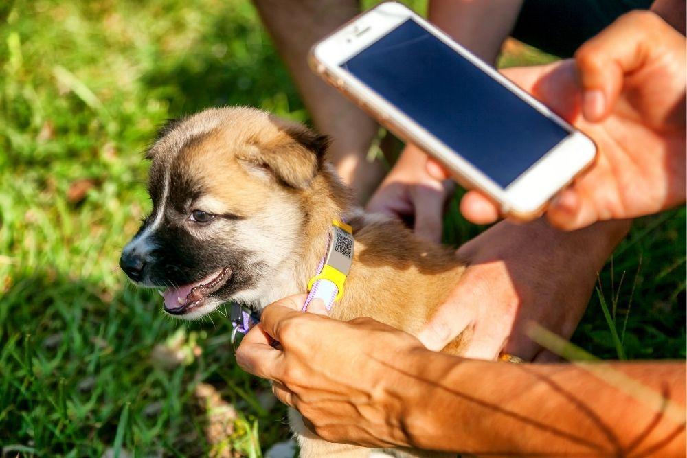 dog-collar-with-QR-info