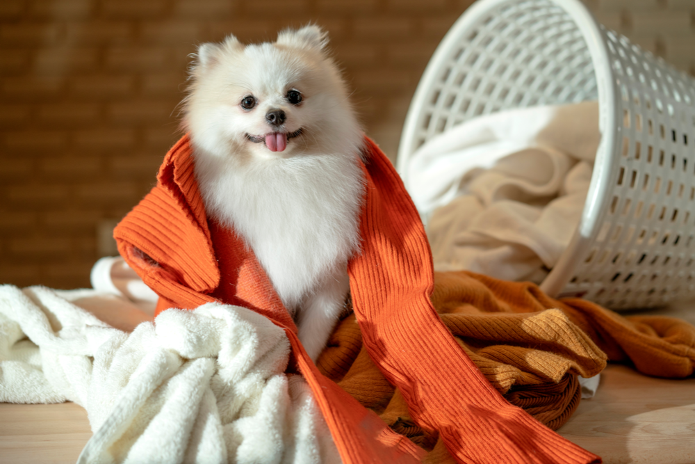 dog-laying-on-clothes