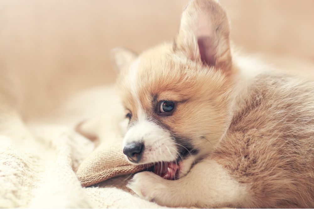 dog-nibbling-a-toy