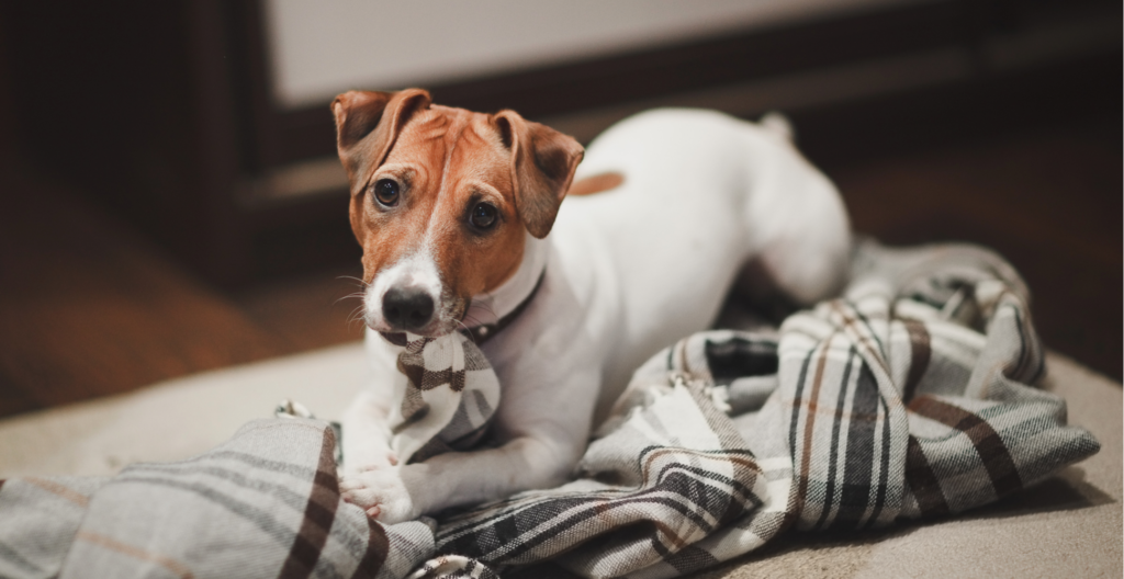 dog-nibbling-the-blanket